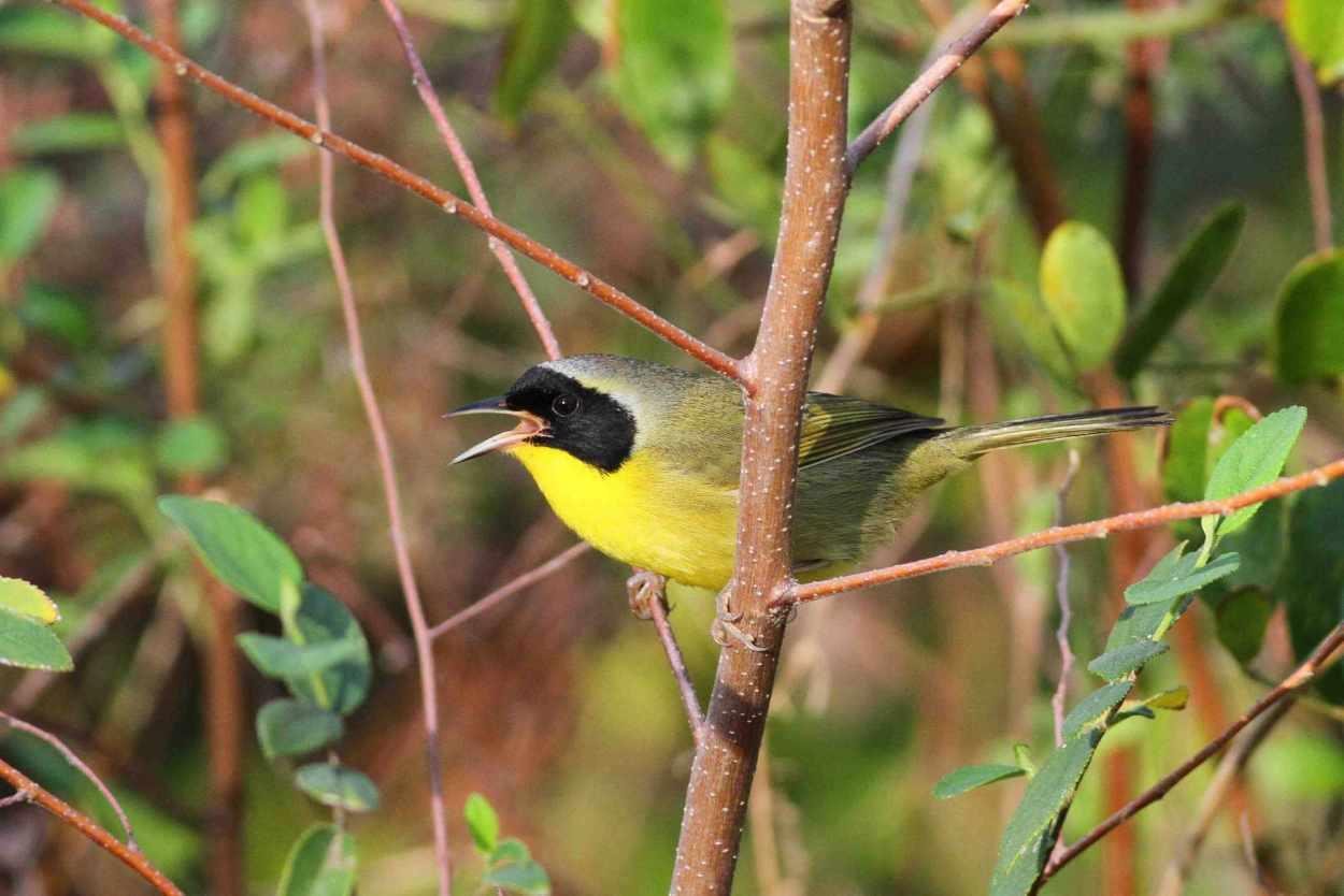 abaco_bahama-yellowthroat_gerlinde-taurer-copy