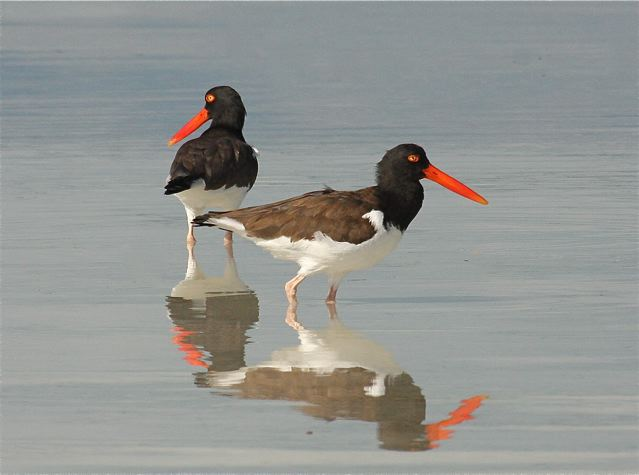 american-oystercatchers-bh-img_2000-copy-2