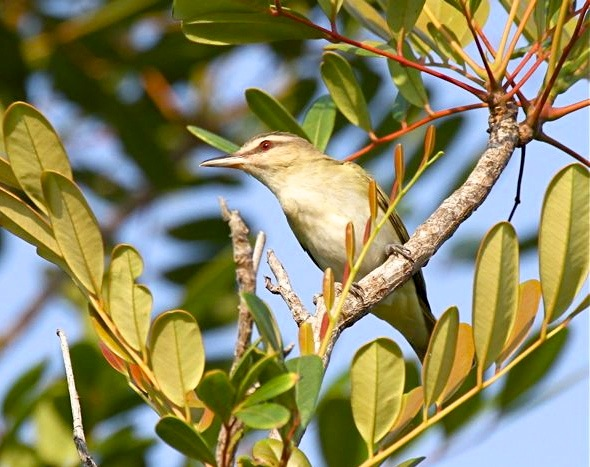 Black-whiskered Vireo BH