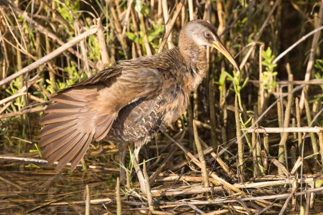 clapper-rail-abaco-bahamas-tom-sheley