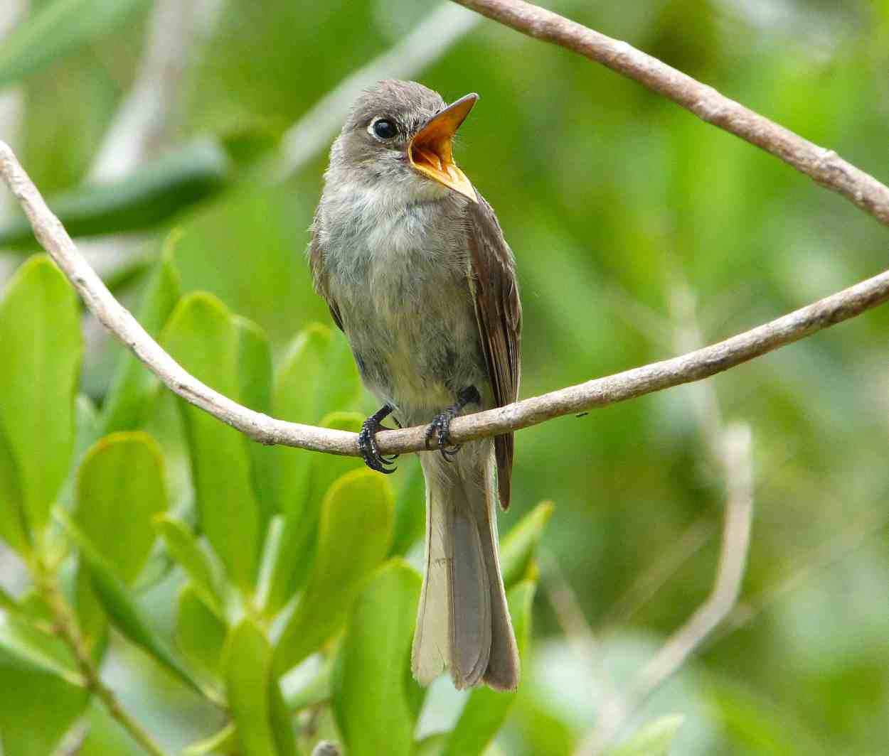 Cuban Pewee KS P1090034 copy 3
