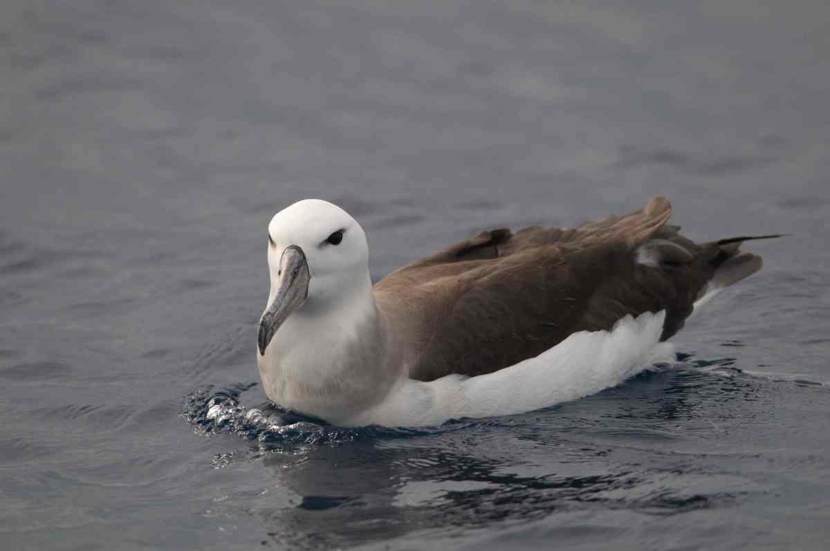 Black-browed Albatross (Diane Claridge)