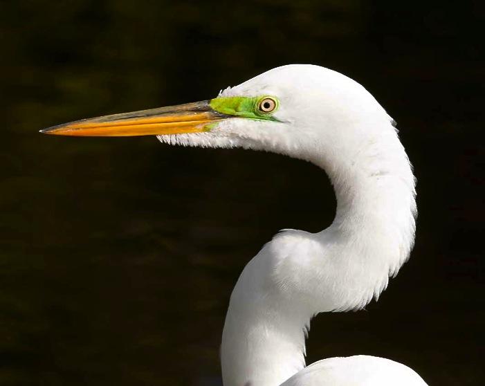Great Egret grab Tom Sheley