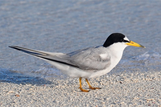 least-tern_ach3672-copy