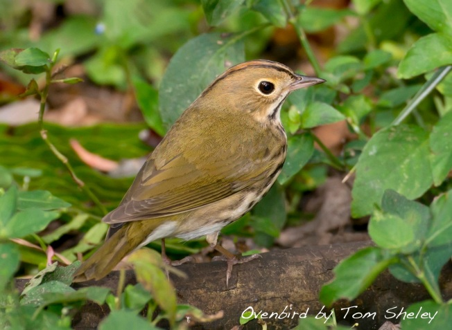 Ovenbird, Abaco Bahamas.Tom Sheley : Delphi