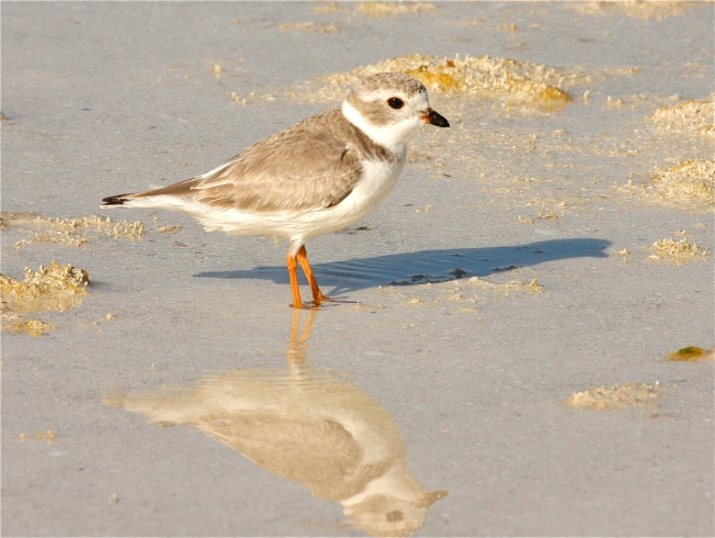 piping-plover-bh-img_1919