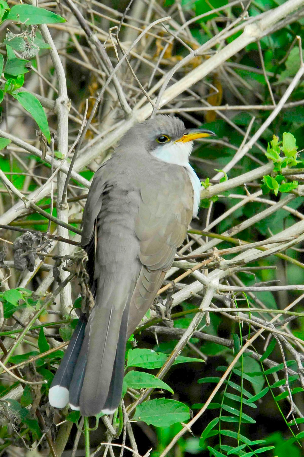 yellow-billed-cuckoo-abaco-bahamas-tom-sheley-copy