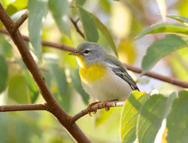 Northern Parula BH (imm - 1st fall f) sm