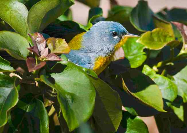 Northern Parula CN clip 300 to jpg sm