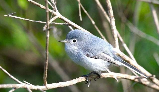 Blue-gray Gnatcatcher, Abaco (Bruce Hallett)