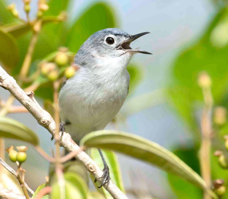 Blue-gray Gnatcatcher vocalizing.Abaco Bahamas.6.13.Tom Sheley a