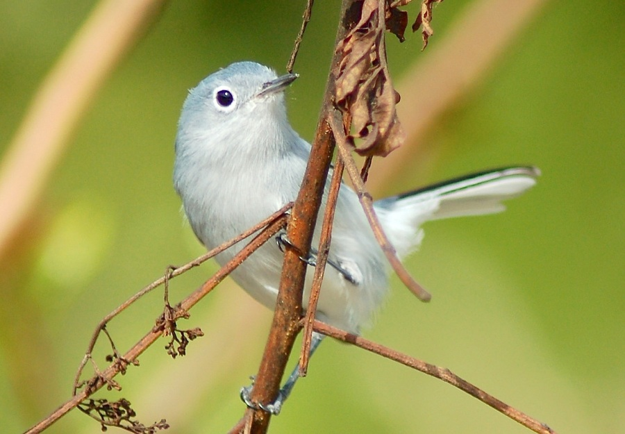 Blue-gray Gnatcatcher, Abaco (Becky Marvil)
