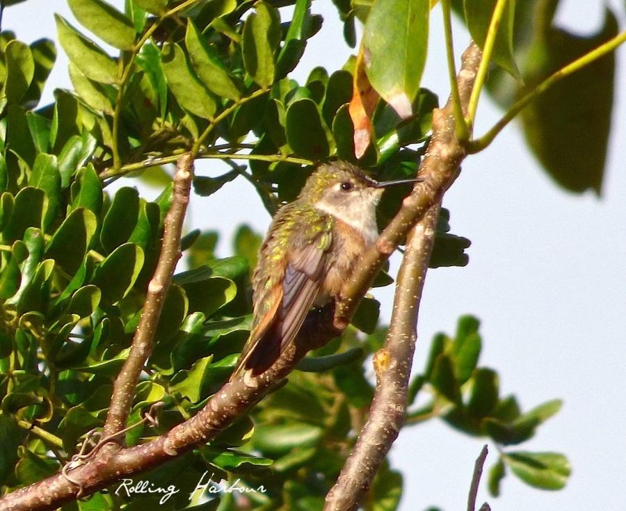 Bahama Woodstar (f), Delphi, Abaco (Keith Salvesen)